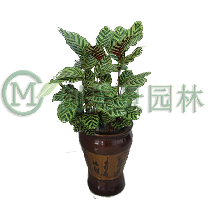 孔雀竹芋1.png